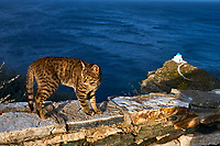 Grece, Cyclades, Sifnos, chat des rues. // Greece, Cyclades, Sifnos, street cat