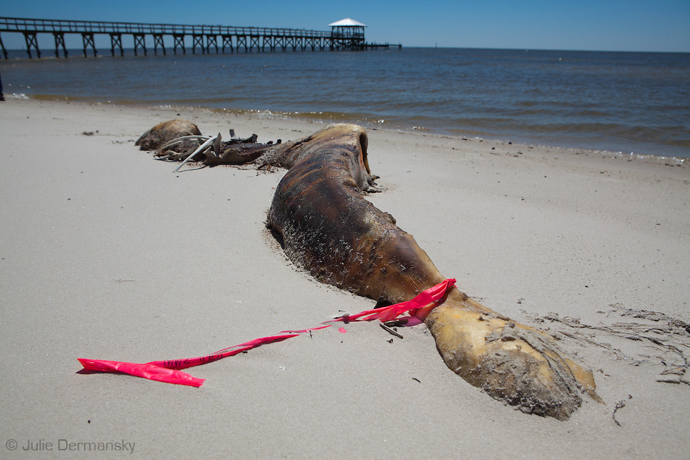 An unprecedented number of dead young  Kemp's Ridley and Loggerhead sea turtles,  have washed up on the shores of Mississippi along the Gulf of Mexico starting almost a year after the BP oil spill. <br /> Test are being done on the high number of turtle and dolphin corpses found on the beaches but results have not been released.///Dead Dolphinon the beach in Pass Christian Mississippi.