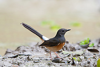 The white-rumped shama (Copsychus malabaricus) is a small passerine bird of the family Muscicapidae. Native to densely vegetated habitats throughout Thailand.
