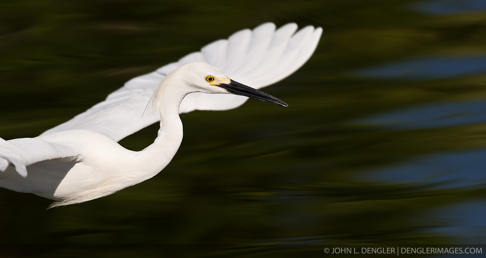 A snowy egret (Egretta thula) hunts for fish in the Gatorland alligator breeding marsh and bird sanctuary near Orlando, Florida. The bird sanctuary is the largest and most easily accessible wild wading bird rookery in east central Florida. Snowy egrets were hunted almost to extinction for its plumage, used by the fashion industry, in the 1800's. The Aududon Society was formed during this period to push for protection for the birds from the fashion industry.