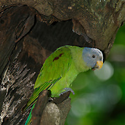 Female Blossom Headed Parakeet