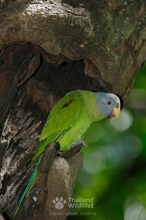Female Blossom Headed Parakeet