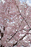 Japanese Cherry Blossom tree in full bloom