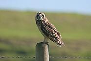 Pueo or Hawaiian Short-eared Owl