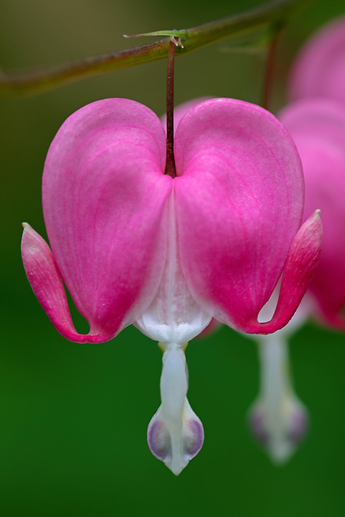 Bleeding heart flower fine art photography from floral photographer and Boston based nature photographer Juergen Roth. <br />