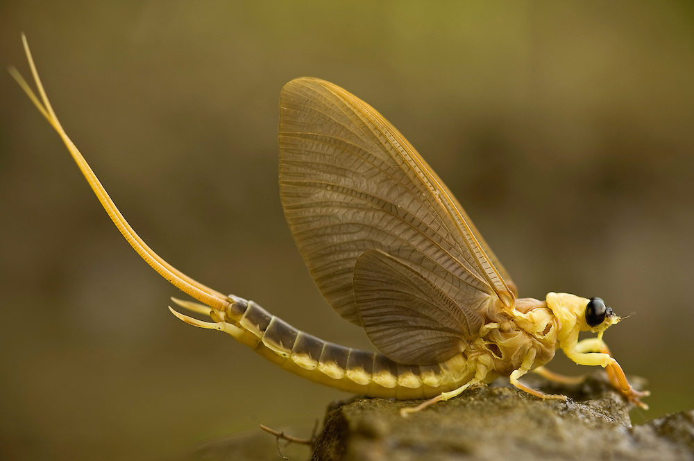 Mayfly (Palingenia Longicauda) is molting in the river Tisza, Hungary, June 2009.