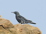 Blue Rock Thrush - Monticola solitarius