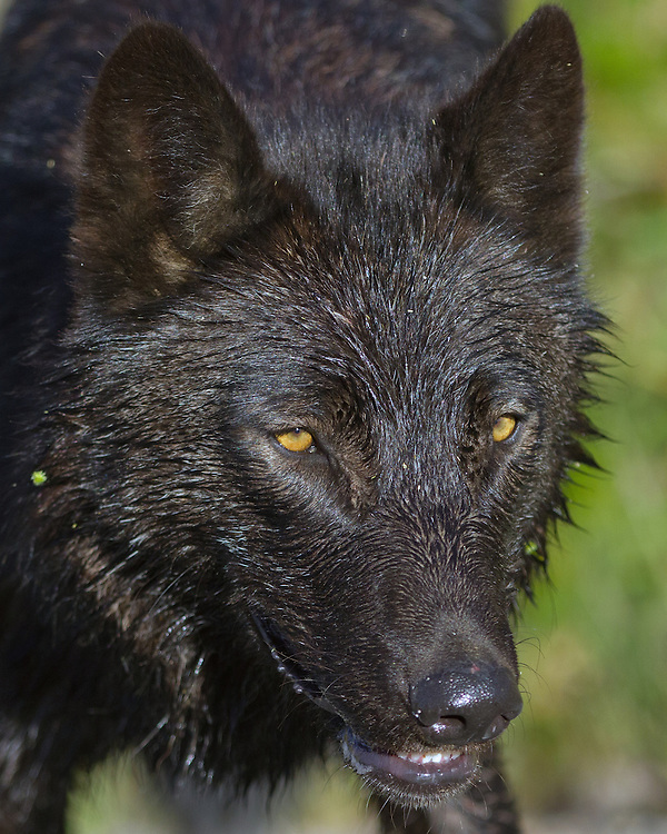 """To look into the eyes of a wolf is to see your own soul-hope you like what you see.""- Aldo Leopold"