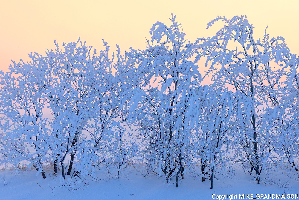 Hoarfrost covered trees at dawn<br /> Dugald<br /> Manitoba<br /> Canada