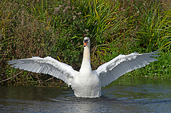 ©Licensed to London News Pictures 18/10/2019.<br /> Sidcup,UK, A white Swan with outstretched wings having a wash in the River Cray. An autumnal October afternoon at Footscray Meadows, Sidcup, South East London. Photo credit: Grant Falvey/LNP