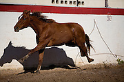 The Piales demonstrates a charro's skill with the lariat, or reata. He must rope the hind legs of a wild mare running at full speed and bring it to a stop. The charro must have impeccable timing and technique.
