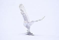 Snowy Owls of Canada