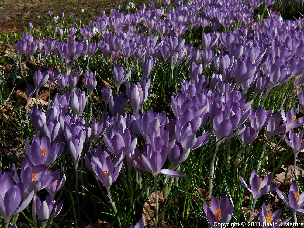 Field of Purple Crocus blooms. Image taken with a Leica D-Lux 5 camera (ISO 100, 15 mm, f/8, 1/320 sec).