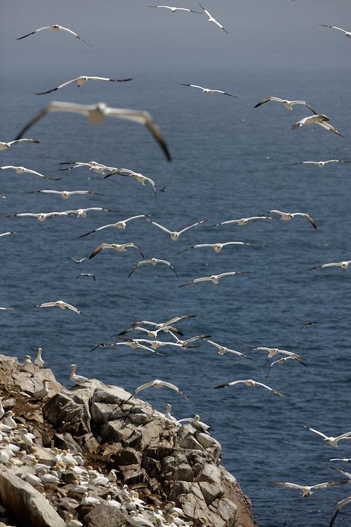 Gannets Sula bassana colony Saltee Islands Ireland