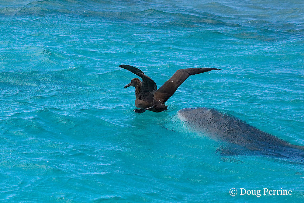 tiger shark, Galeocerdo cuvier, attacks a black-footed albatross fledgling, Phoebastria nigripes, which has landed in the lagoon on its first attempt at flight from East Island, French Frigate Shoals, Papahanaumokuakea National Monument, Northwest Hawaiian Islands ( Central Pacific Ocean ) #1 in series of 4