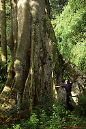 A man stands close to a oca (oka) tree stock. This is one of the biggest ones found in Principe island.
