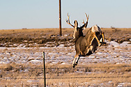 Buck mule deer jumping fence in southern North Dakota on Wednesday, Jan. 17, 2018.