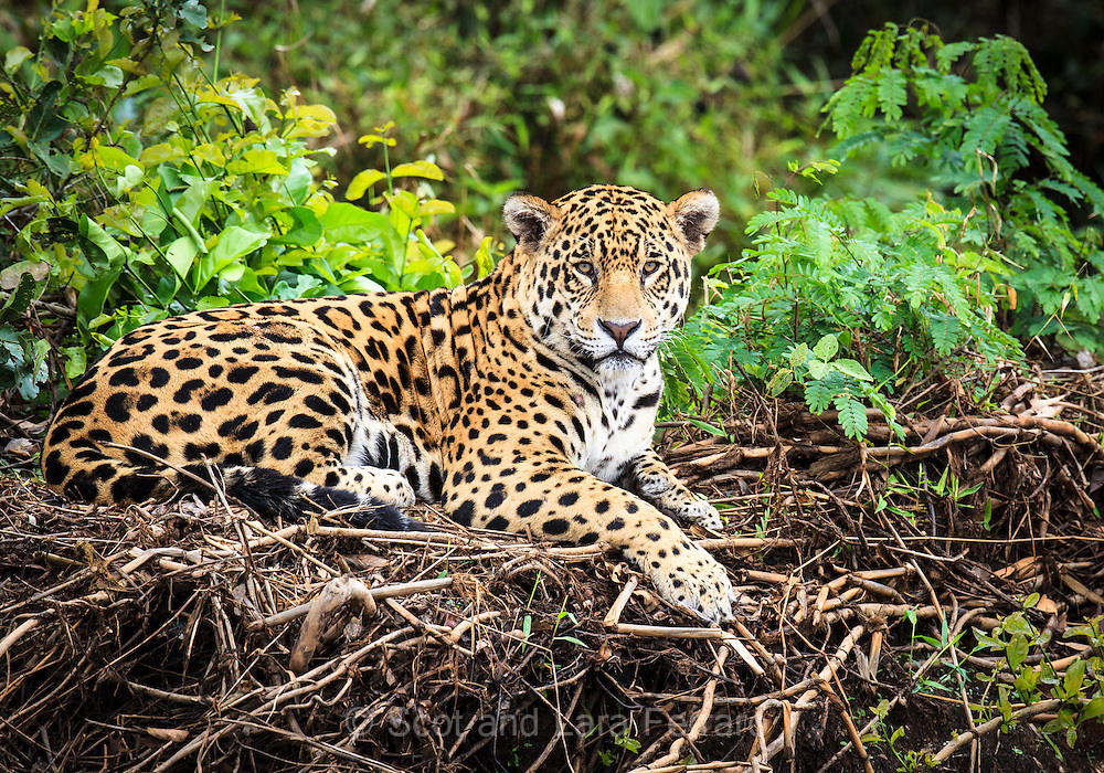 The Jaguar, researchers refer to as George rests on the banks of a river.  He watches for prey - Capybaras or Caiman to get close.