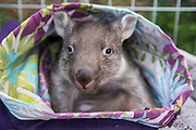 Common Wombat <br /> Vombatus ursinus<br /> Five-month-old orphaned joey (mother was hit by car) in pouch<br /> Bonorong Wildlife Sanctuary, Tasmania, Australia<br /> *Captive- rescued and in rehabilitation program