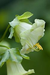 Cobaea scandens f.alba
