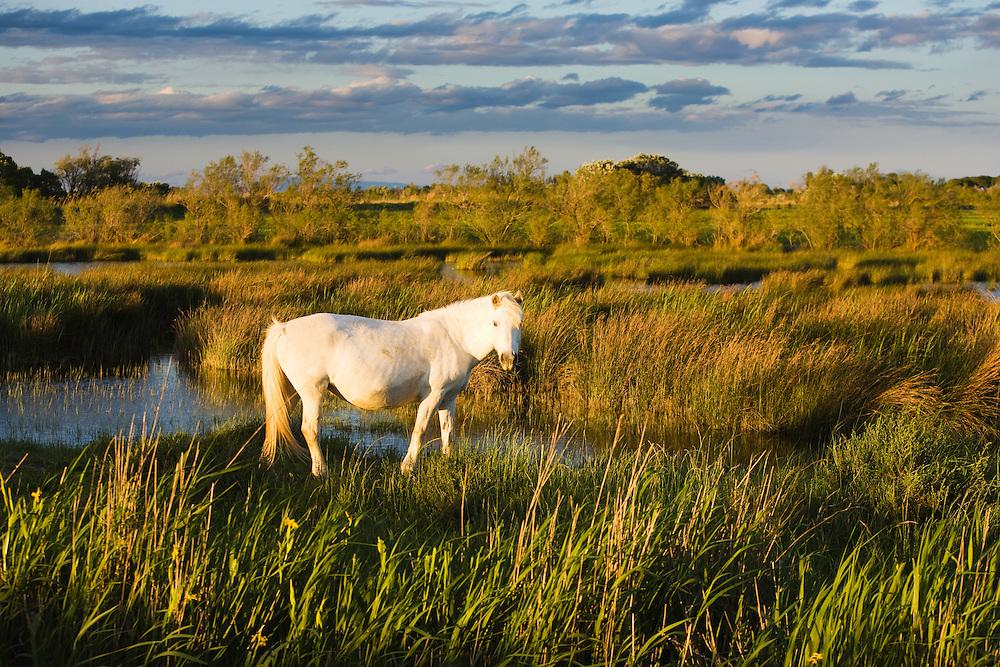 White Camargue horse stallion, Camargue, France