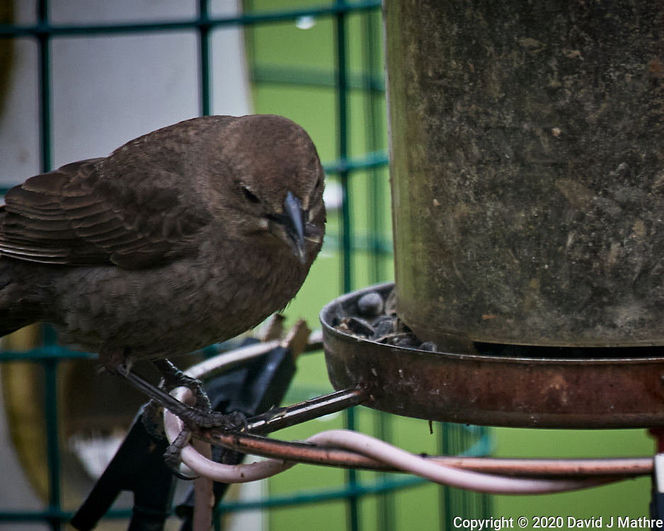 Female Brown-headed Cowbird. Image taken with a Nikon D5 camera and 600 mm f/4 VR lens (ISO 1600, 600 mm, f/5.6, 1/250 sec)
