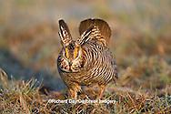 00842-03609 Greater Prairie-Chicken (Tympanuchus cupido) male booming/displaying on lek Prairie Ridge State Natural Area Jasper Co, IL