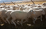 A herd of ewes move into a neighboring field on Ryan and Jon Cook's sheep ranch outside Fountain Green, Nov. 5, 2012.