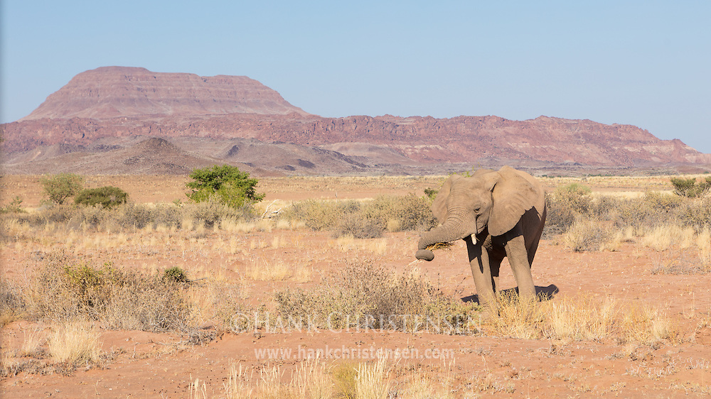 Desert adapted elephants roam the dry valleys of the mountainous Damaramland region, Twyfelfontein, Namibia.