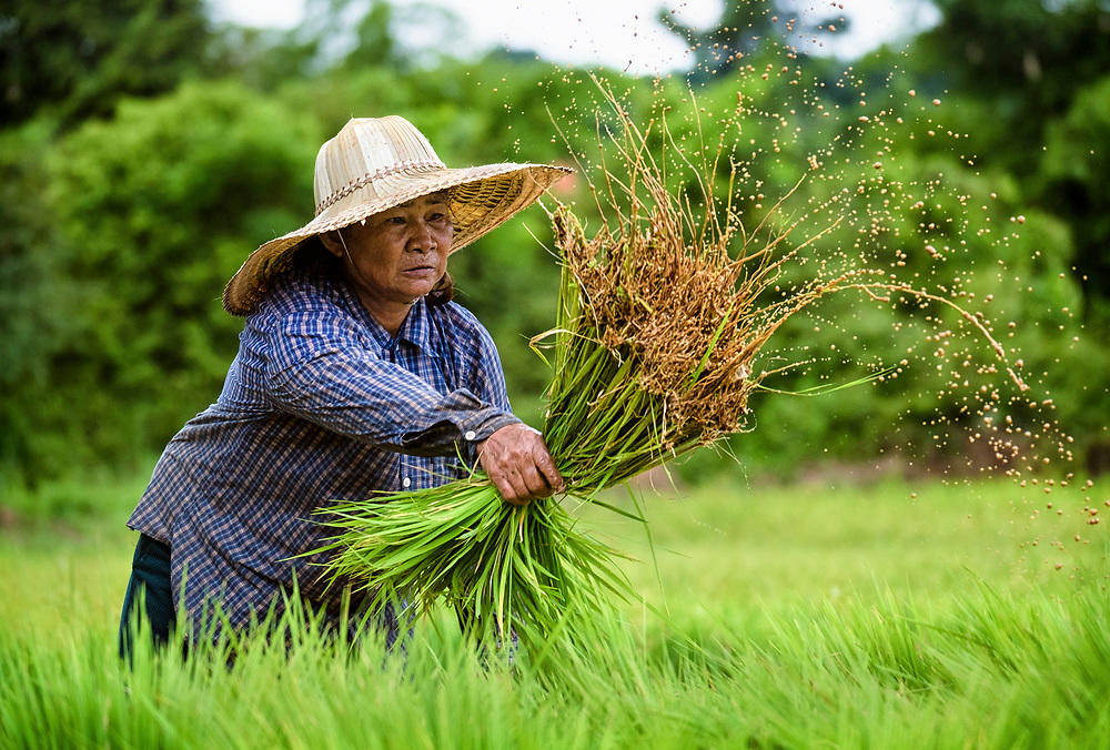 Siri, a 65 year old Thai woman farmer, works in her leased fields preparing rice plants to be transplanted into a larger field, in Nakhon Nayok ‪Thailand‬ Aug 14, 2016. PHOTO BY LEE CRAKER
