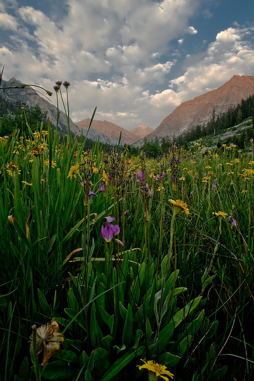 Field of flowers in the Sierra Nevada mountains of California