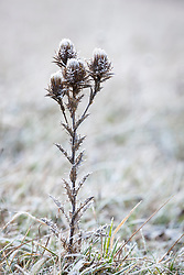 Carline Thistle seedhead in the chalk grassland at Strawberry Banks Nature Reserve on a frosty winter's morning. Carlina vulgaris