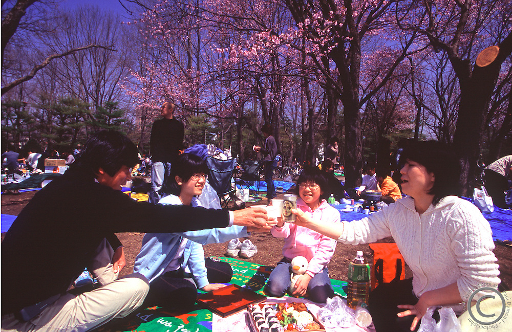 A family enjoys a picnic under the cherry blossoms on Children's Day (May 5th) in Maruyama Park, Sapporo, Hokkaido, Japan