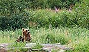 Nursing cubs at Hallo Bay