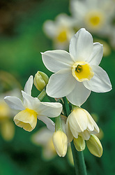 Narcissus 'Silver Chimes' (Tazetta)