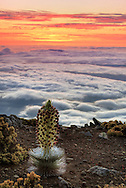 Sunset atop Haleakala with blooming Silversword plant