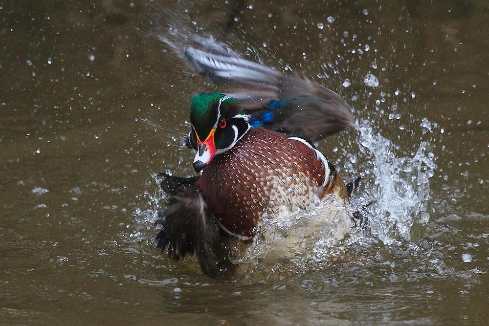 Wood duck (aix sponsa) Wood Duck (Aix sponsa)