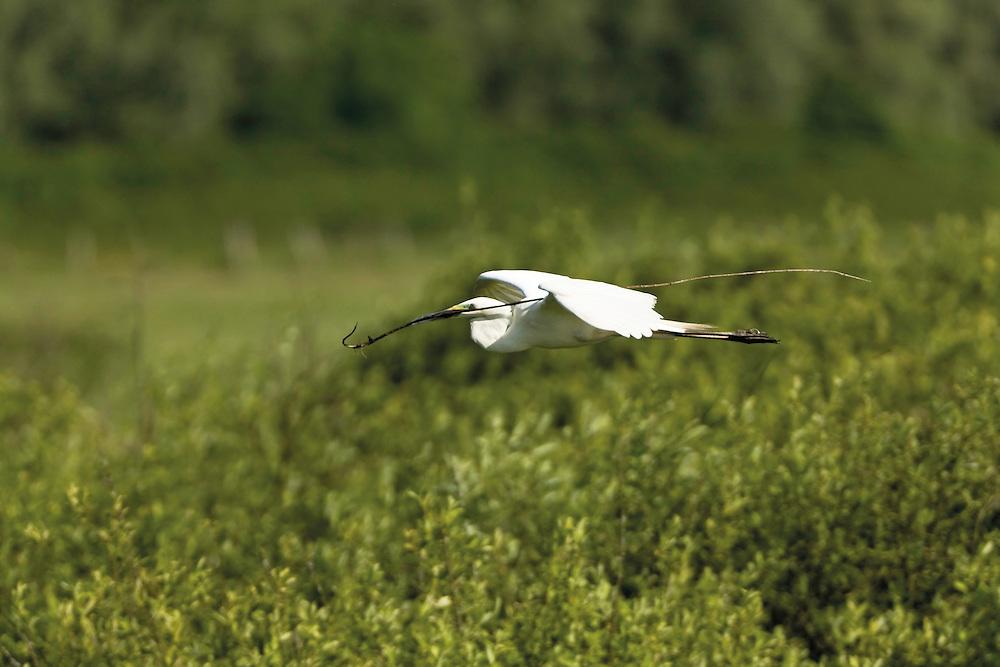 Great white heron (Ardea alba) carrying spray to build the nest, over the heronry of Krapje đol, in an oxbow of the Sava river. Near Krapje village. Lonjsko Polje Nature Park. Ramsar Site. Sisack-Moslavina county. Slavonia region. Posavina area. June 2009. Croatia.<br /> Elio della Ferrera / Wild Wonders of Europe