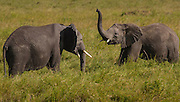Elephant Elephants sparring for dominance, part of a family group, Serengeti National Park, Tanzania. as of 2013 Tanzania is losing 70 elephants a day to poaching.