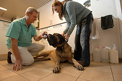 """BRUSSELS, BELGIUM - FEB-2-2007 - Dr. Luc Callewaert applies a tick spray to """"Zulu"""" a Mastiff owned by Marcena Dalton. When animals travel from mainland Europe to the UK they must be certified """"Tick Free"""" by a veterinarian who issues a certificate which is presented to customs officials. The spray must be applied 24 hours before the trip but the animal must arrive in the UK within 48 hours of the treatment. (PHOTO  © JOCK FISTICK)"""