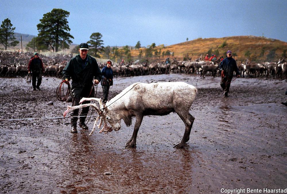 Slakting, bukk. Sørsamisk reindrift i Nord-Trøndelag. Southsami reindeer herding in Mid-Norway. Skjækra reinbeitedistrikt, Skæhkere Sijte. Ved Grønningen.
