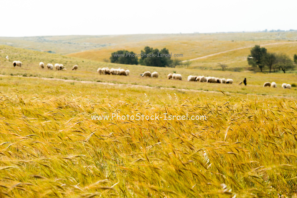 Wind blows through a wheat field.  A herd of sheep in the background Photographed in Lachish region, Negev, Israel