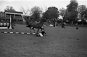 "08/05/1964<br /> 05/08/1964<br /> 08 May 1964<br /> R.D.S. Spring Show Ballsbridge Dublin, Championship Showjumping, Miss P. McKee, Falling from her horse ""Desilv"", during the Championship Jumping Event of the Dublin Spring Show."