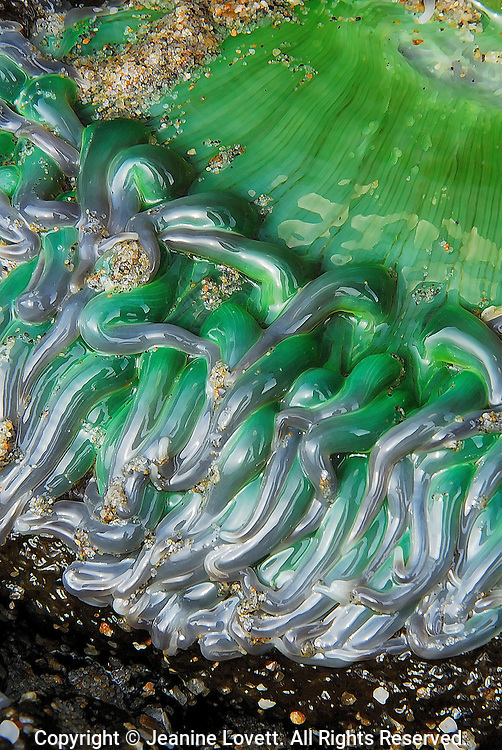 Close up of a sea anemone at extreme low tide in Santa Cruz, California. The sea anemone looks droopy and glossy because it is not covered by water.