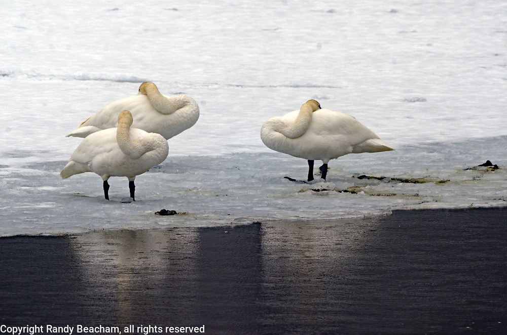 Three trumpeter swans resting on an ice shelf on the Yaak River in late winter during an early migration. Yaak Valley in the Purcell Mountains, northwest Montana.