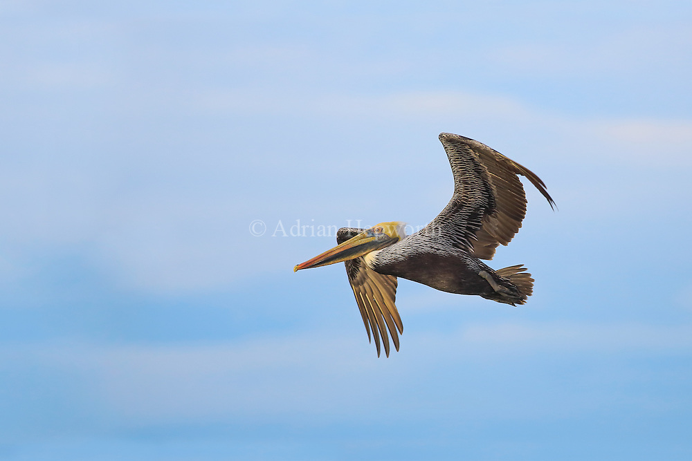 This Brown Pelican was out fishing off Mansita Beach in Guanacaste just after dawn. The soft light of the sun's first rays was perfect to illuminate every small details of the bird's feathers.<br />