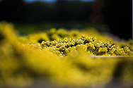 freshly harvested Monticello Vineyards Chardonnay grapes from the Oak Knoll District in Napa Valley.