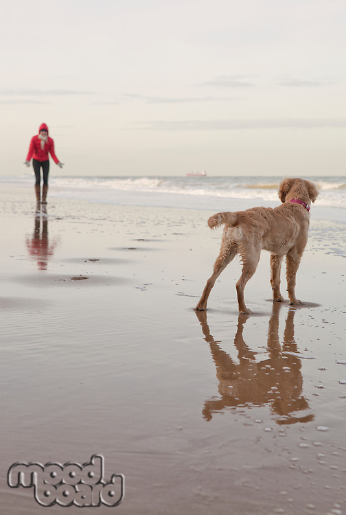 Mixed breed Golden Retriever-Poodle cross with owner on beach in Herne Bay Kent