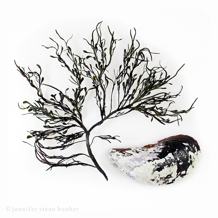 Rockweed and Blue Mussel