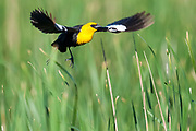Yellow-headed Blackbird, Xanthocephalus xanthocephalus, male, South Dakota